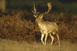 Fallow-Deer-Buck