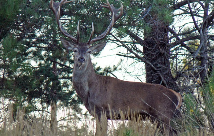 Maior reserva portuguesa de veados está a ser pilhada pela caça clandestina