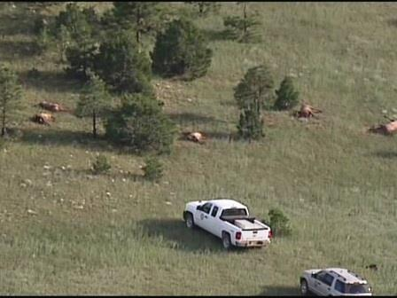 Elk_herd_found_dead_in_northeastern_N_M