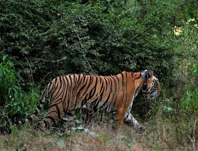 tigre_india_gps
