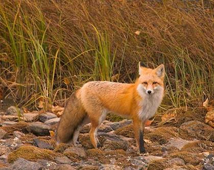 raposa_vermelha