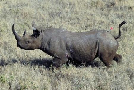 rinoceronte_negro2014