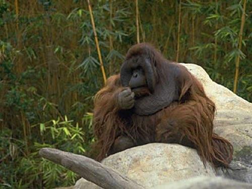 orangutan_fev2014