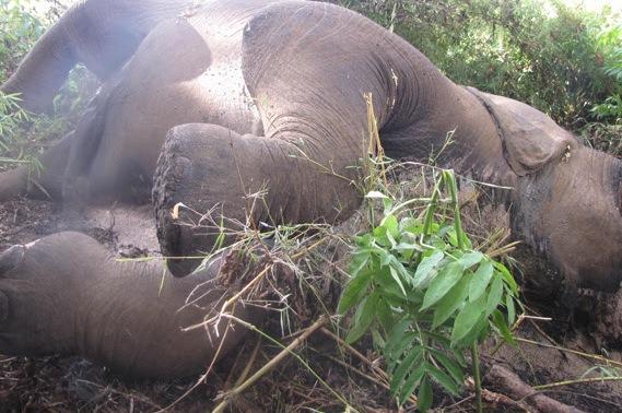 elefante_morto_maio2014
