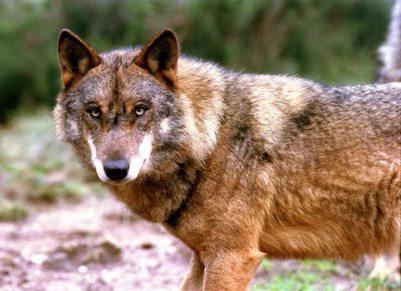 Secretário de Estado admite caça ao lobo ibérico se a população crescer muito