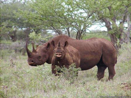 Moçambique – Anunciadas mais detenções em caso de tráfico de cornos de rinocerontes