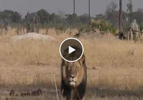 Zimbabué procura homem que decapitou o seu leão mais icónico