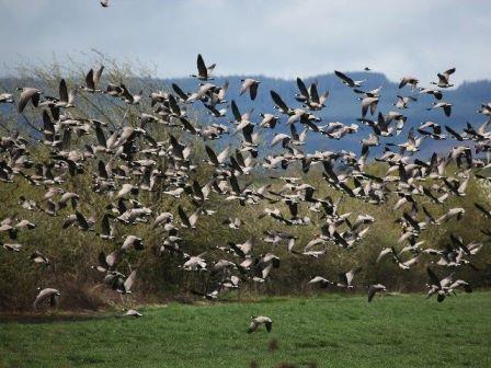 Holanda mata milhares de gansos e causa mais sofrimento animal após proibição da caça