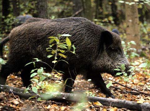 Galiza – Javali ferido investe e mata caçador