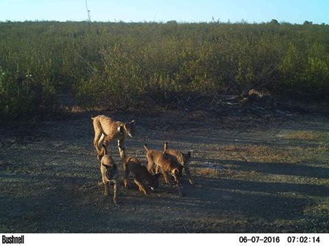 Confirmada ninhada de Lince com 4 cachorros